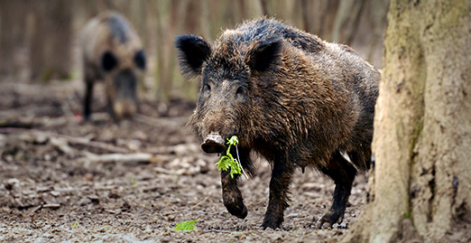 Caryonah Hunting Lodge Wild Boar